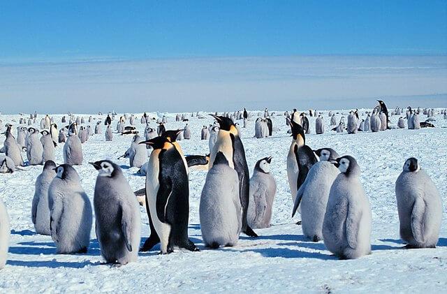 La dura vida del pingüino emperador