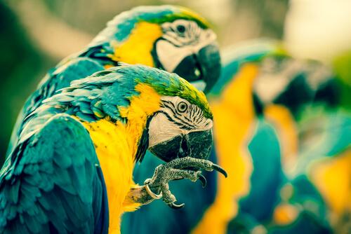 Piojos en pájaros domésticos
