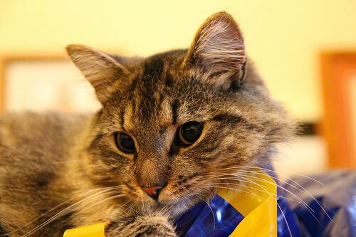 ¿Cuáles son los mejores premios para gatos?