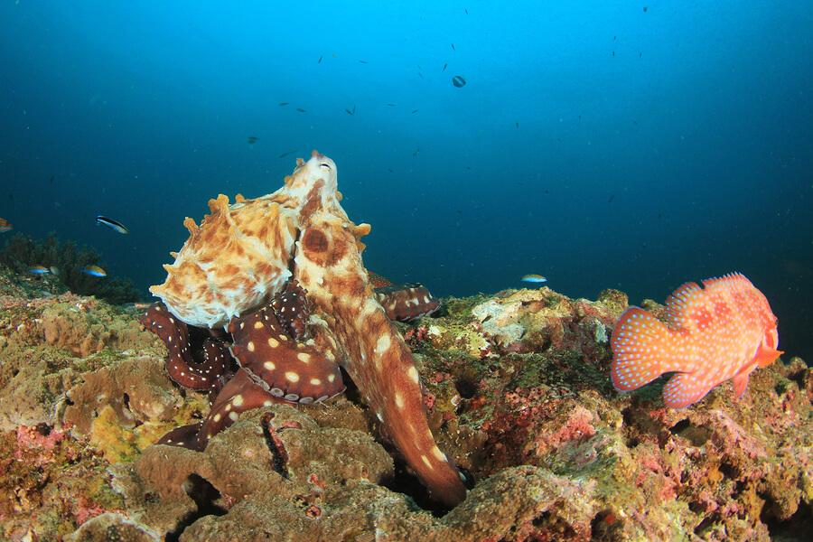 El pulpo gigante es uno de los moluscos más grandes del mundo.