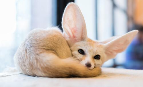 4 razas de zorros que debes descubrir