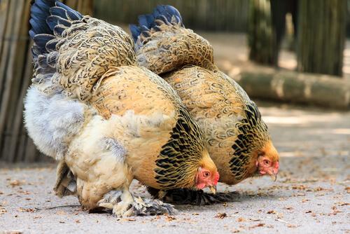 Razas de gallinas: brahma
