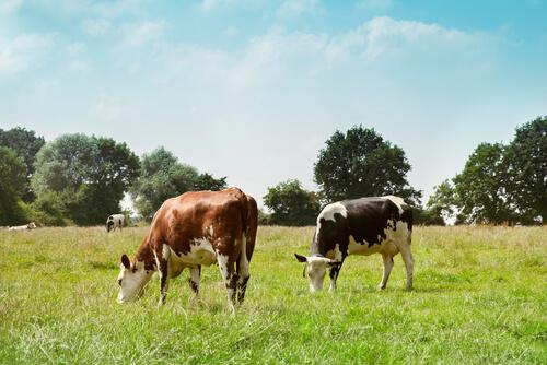 Razas de vacas de leche: Normando