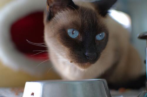 que pasa si un gato come carne cruda