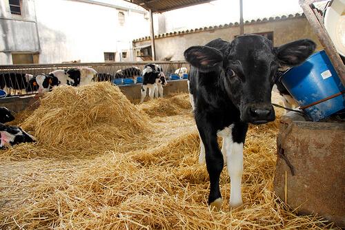 Fiebre aftosa en el ganado