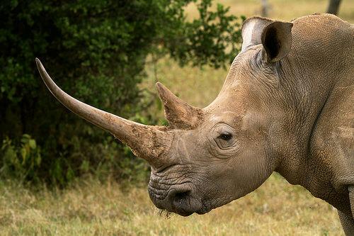 Rinoceronte: características comportamiento y hábitat