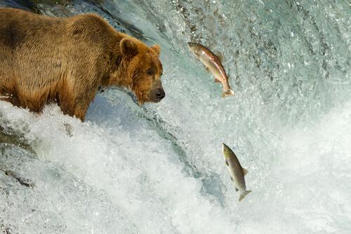 Oso cazando salmones