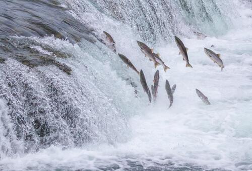 La carrera del salmón: un asombroso viaje