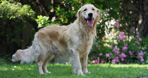 El soplo cardíaco en perros: prevención y primeros auxilios