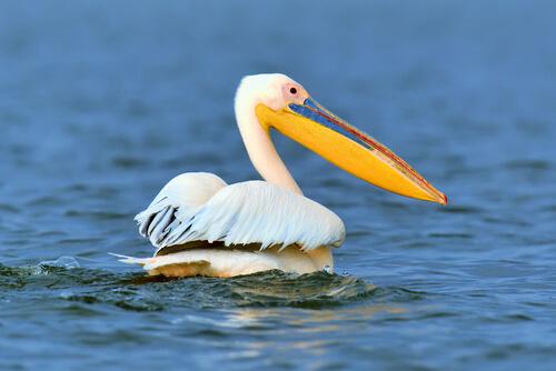 Técnicas de pesca de las aves marinas: pelícano