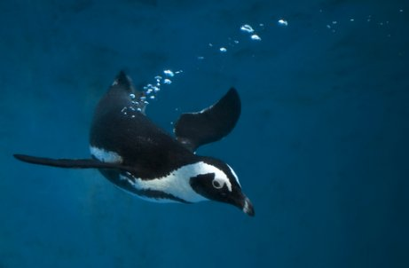 Técnicas de pesca de las aves marinas: pingüino