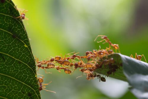 Trabajo en equipo de las hormigas: comunicación