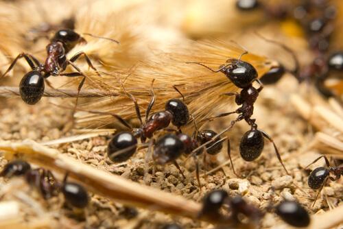 Trabajo en equipo de las hormigas: fabricar