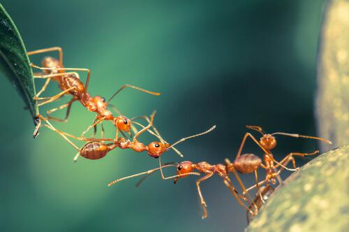 Trabajo en equipo de las hormigas