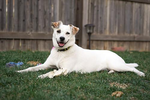 ¿Qué es el abdomen agudo en perros?