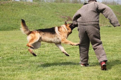 Adiestrar en defensa y ataque a perros: pastor