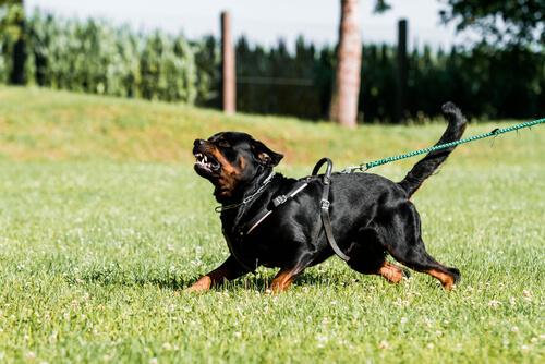 El adiestramiento de defensa y ataque en perros