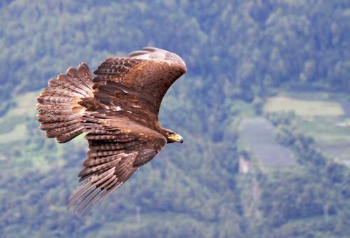 Águila real: características, comportamiento y hábitat