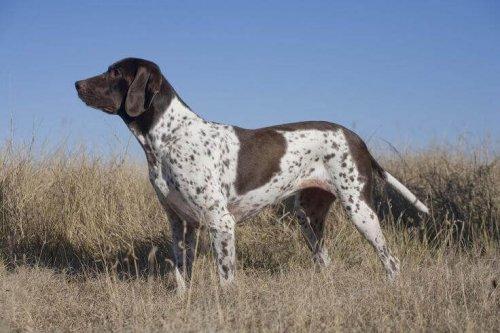 Antiguo perro de muestra danés
