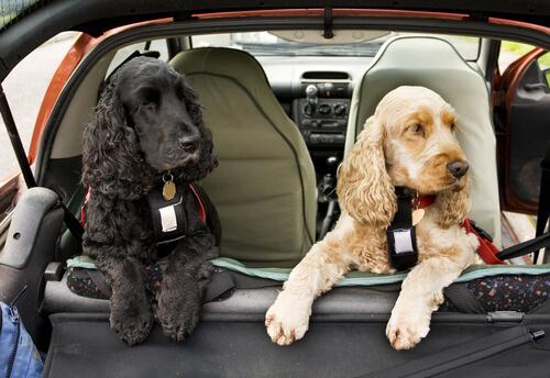 Viajar con arnés cinturón seguridad para perros