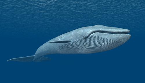 La ballena azul: el ser vivo más grande
