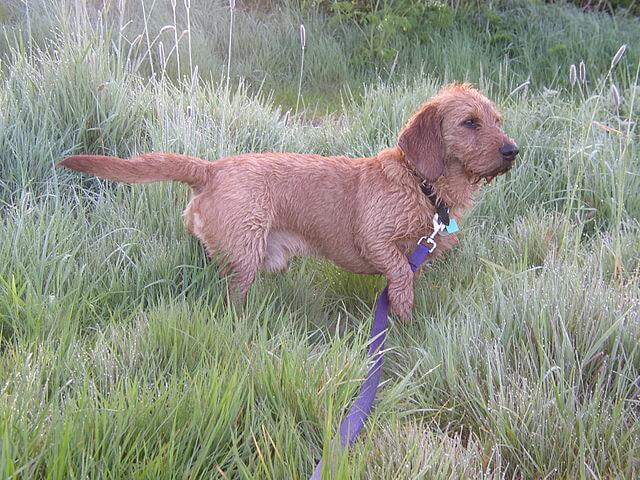 Perro basset leonado de bretaña