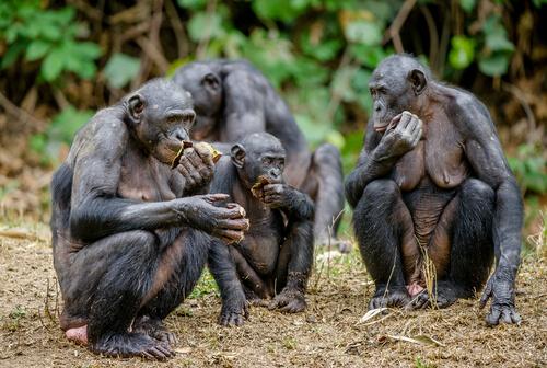 Bonobo: características, comportamiento y hábitat