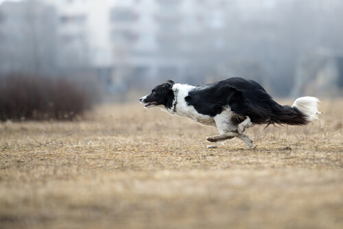 Border collie: entrenamiento obediencia