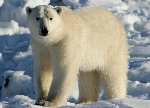 Efectos del cambio climático en los osos polares