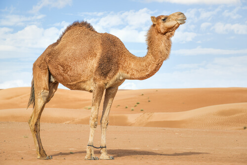 Camello de Arabia: características