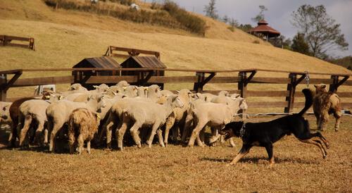 Carea leonés, comportamiento en el pastoreo
