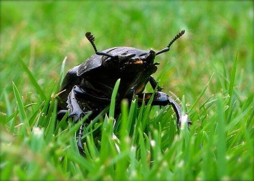 El ciervo volante: el escarabajo europeo más grande