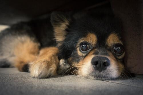 ¿Para qué sirven los bigotes de los perros?