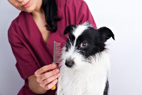 Cortarle el pelo corto al perro