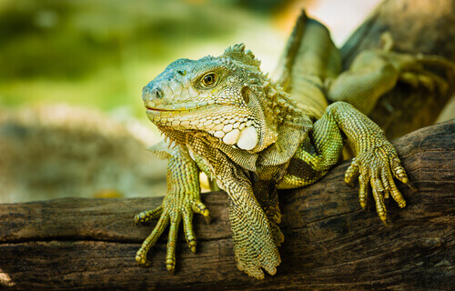La iguana es un animal herbívoro.