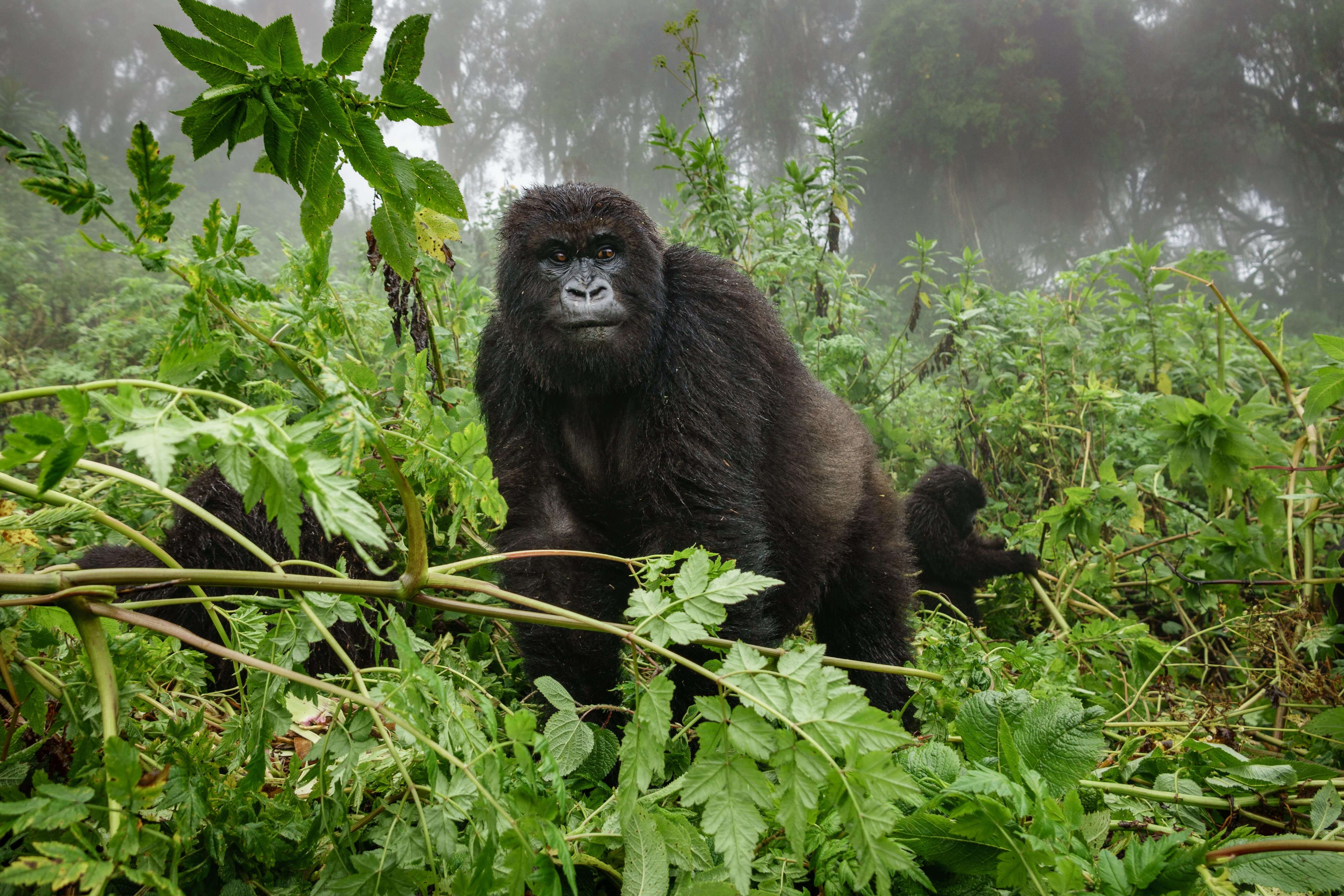 Dian Fossey gorilas