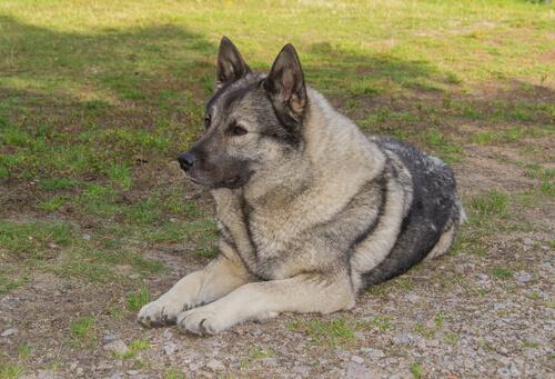Perro elkhound noruego tumbado