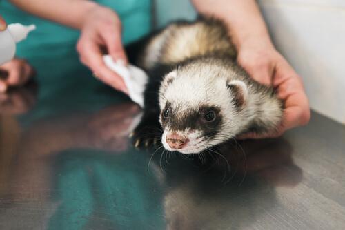 hurón en el veterinario