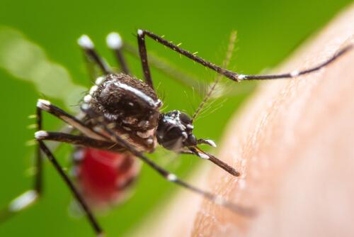 ¿Qué enfermedades transmiten los mosquitos?