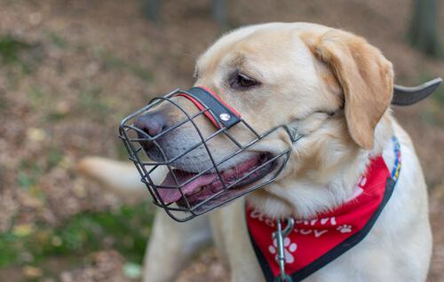 ¿Cómo enseñar a tu perro a usar un bozal?