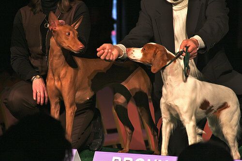 Perro faraon hound en una competicion