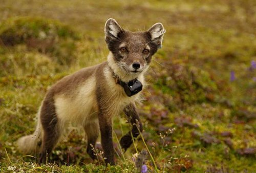 Fauna de la tundra