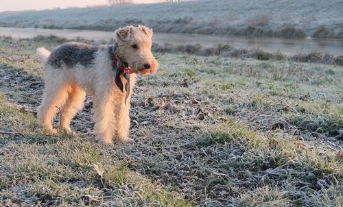 Perro fox terrier en el campo