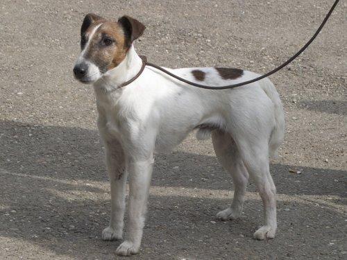 El Fox Terrier de pelo liso