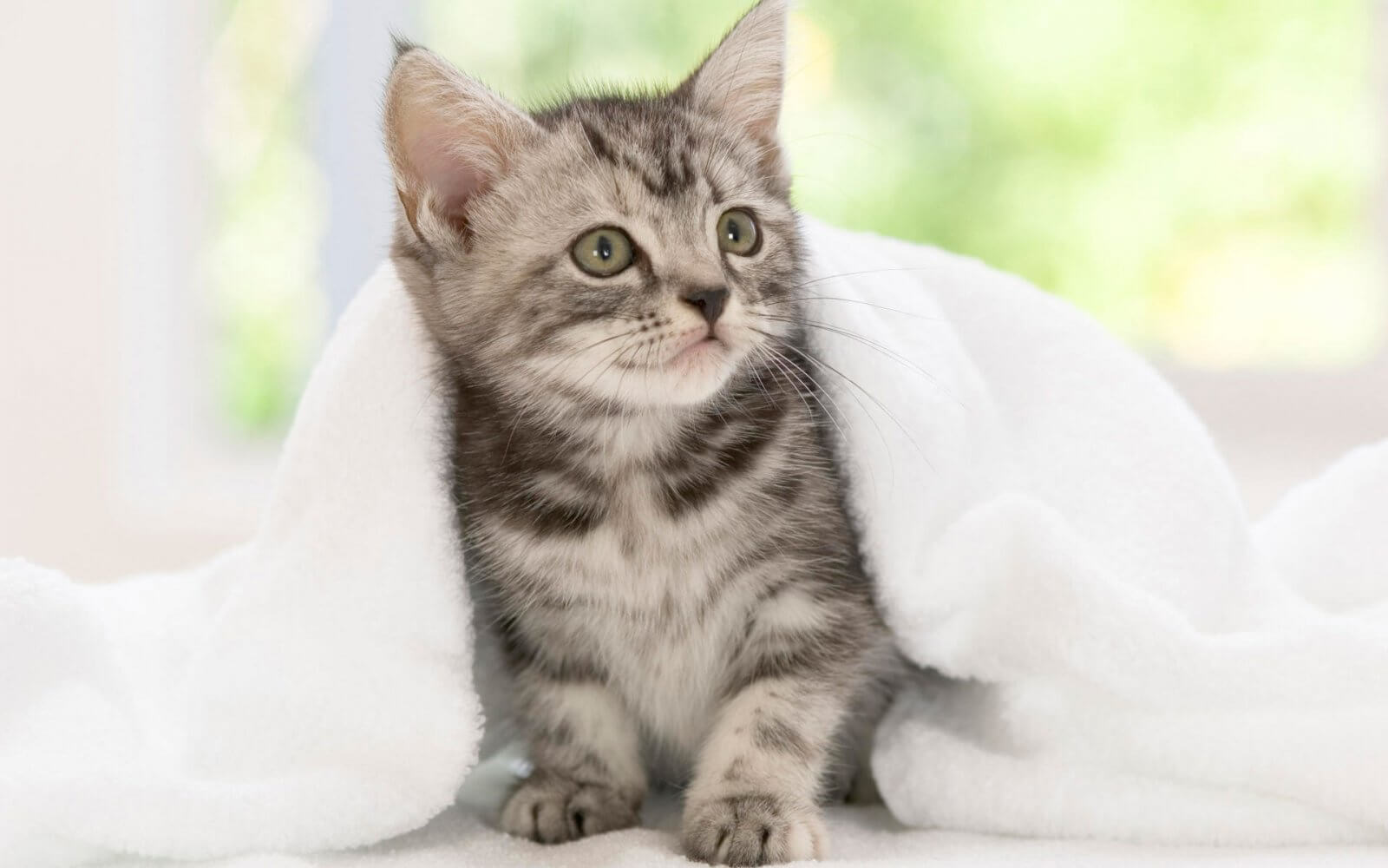 Gato american wirehair: características