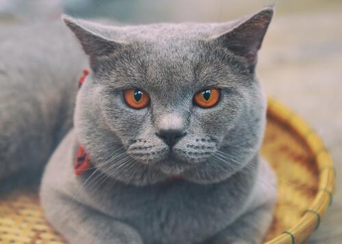 Gato Cartujo o Chartreux