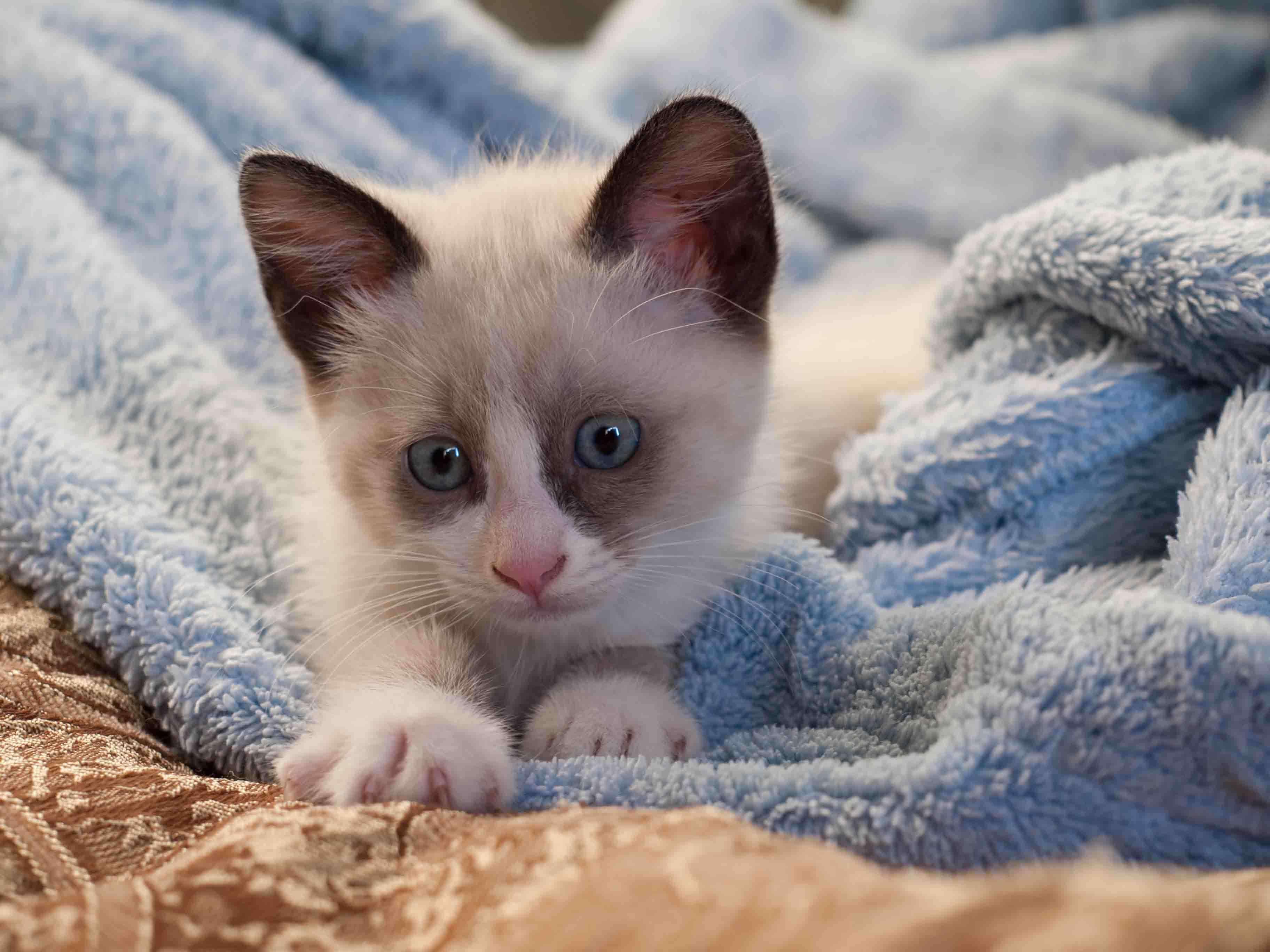 Clamidiasis felina: causas, síntomas y tratamiento