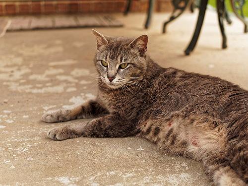¿Qué debes saber sobre la gestación de las gatas?