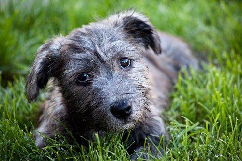 Perro glen de imaal terrier