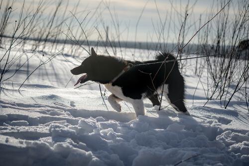Laika de Siberia Oriental: comportamiento